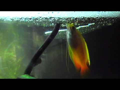 honey-gourami-laying-eggs