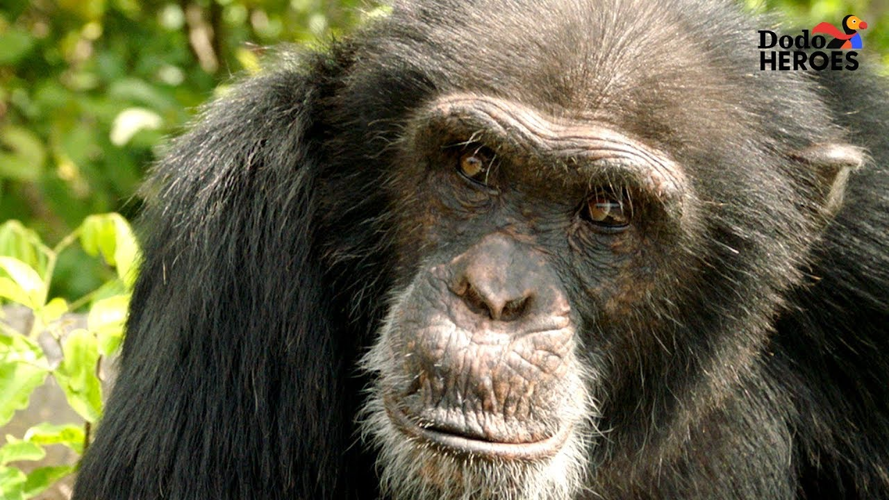 Chimp Living Alone on an Island For Years Gets A Big Surprise | Dodo Heroes