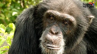 Chimp Living Alone On An Island For Years Gets A Big Surprise Dodo Heroes