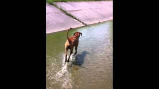 Rhodesian Ridgeback - Argos in Water