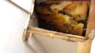 Removal of layers of hunny comb of a 14 layer hive.
