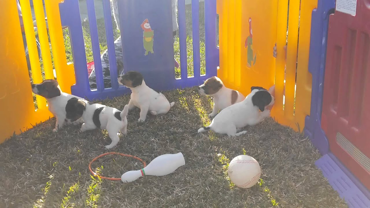 Jack Russell Terrier, Puppies, For, Sale, In, Mobile, Alabama, AL,  Montgomery, Birmingham
