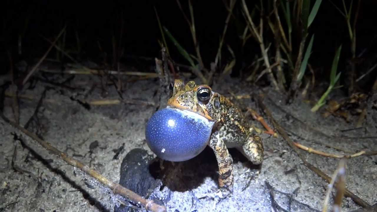 A few of Florida's Frogs and Toads - YouTube