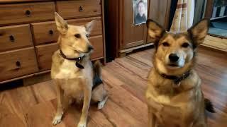 Две поющие собаки