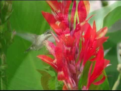 Hummingbirds & Canna Lilies Seasons End  set to Pavane by Ray Lynch