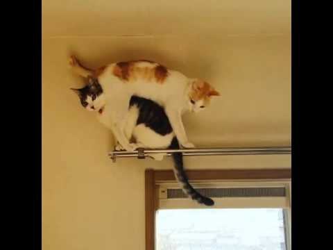 Cat Falls Off Curtain Rod