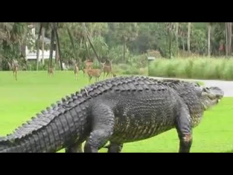 Giant Gator Crosses Golf Course Youtube