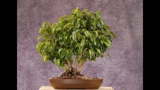 ФИКУС. Комнатное растение для семейного благополучия