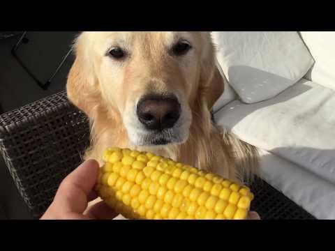Chubby mısır yiyor