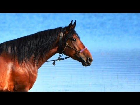 БЛИЗНЕЦЫ. Конный гороскоп. Лошадь по зодиаку БЛИЗНЕЦЫ.
