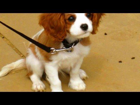 TORO the Cavalier Cutie