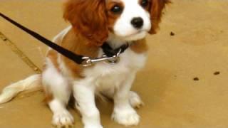 ♥TORO♥ the Cavalier Cutie