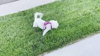 STAR in the grass  Maltese dog