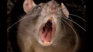 Использовать крыс в борьбе с терроризмом предлагают  учёные