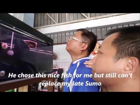 LIOW VIDEO: Selecting my last Arowana fish 挑选龙鱼