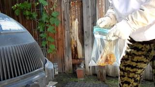 Wild Honey Bee Capture and Harvest part 2 April 2015