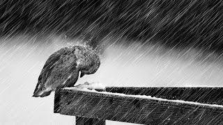 Gambar cover rain with bird sound effects - efek suara hujan dan burung