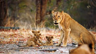A Lioness Mom Confronts a Trespasser to Protect Her Cubs