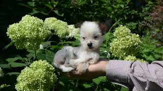MythicKingdom Chinese Crested Princess Viva almost 8 weeks before grooming