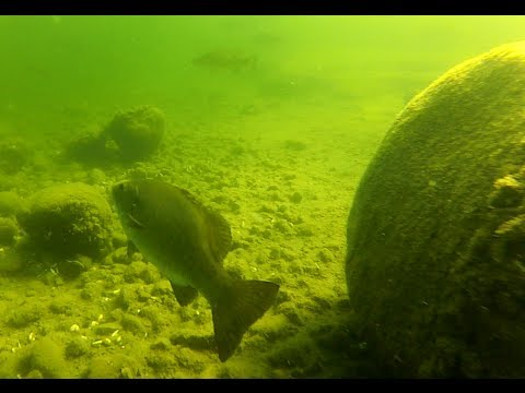 Canadian Freshwater Fish: Underwater Footage