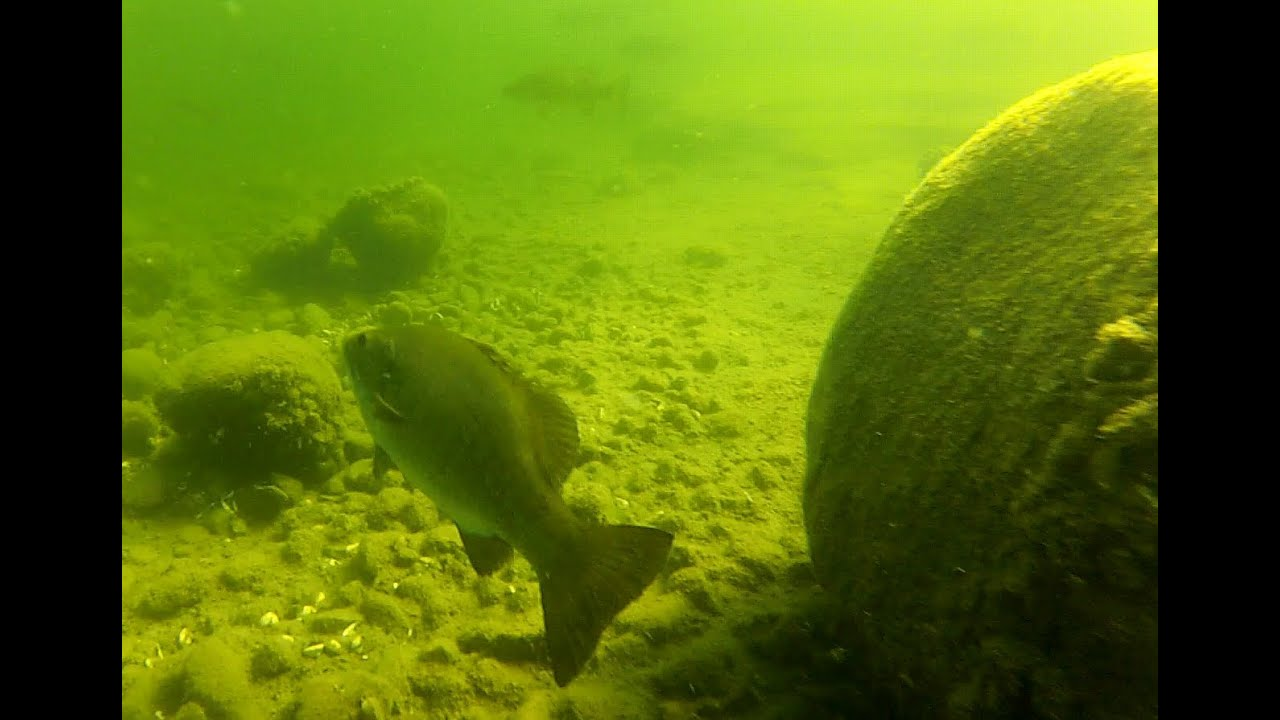 Canadian freshwater fish underwater footage youtube for Photos of fish