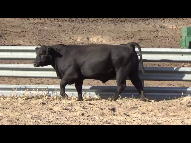 Connealy Angus Lot 208