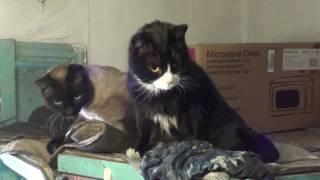Коты реагируют на кошачий мяу со смарфона  Прикольные кошки. Приколы с животными смешное видео котов