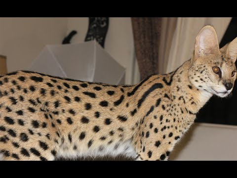 My BIG SERVAL CAT!! Exotic Pets