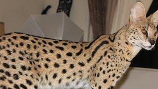 My BIG SERVAL CAT!! Exotic Pets