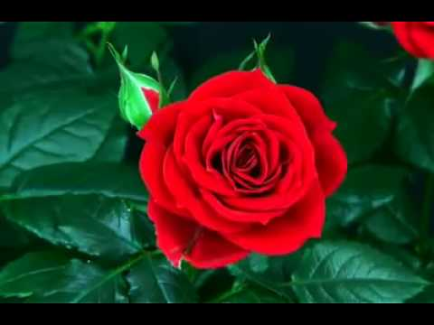 Good Morning Rose Youtube