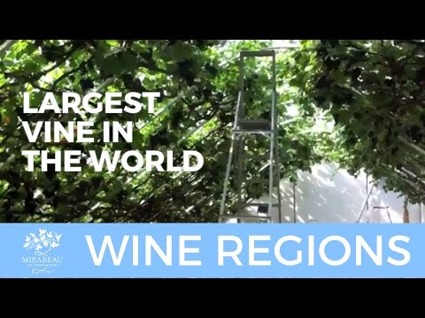 The Largest Vine in the World!