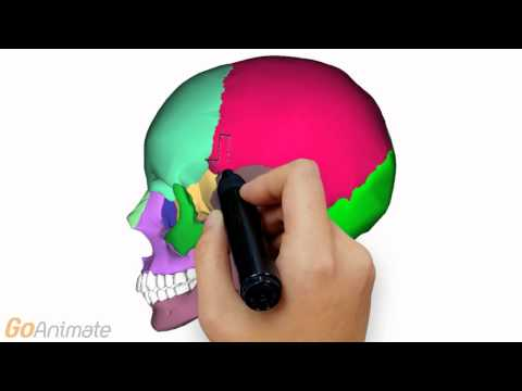 Anatomy and Physiology of the Skeletal System: The Skull