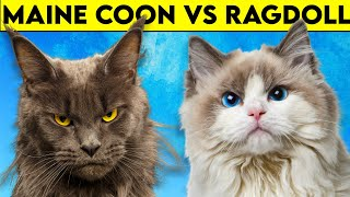 Maine Coon Cat vs Ragdoll Cat  Can't Get More DIFFERENT than THIS