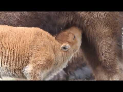 Newborn bison nursing in Yellowstone.