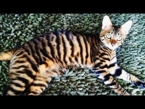 Eye Of The Toyger