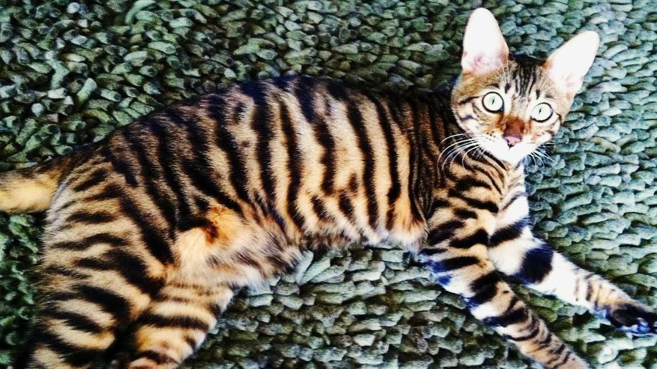 Exotic House Cats Bengal