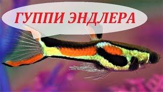 Гуппи Эндлера в аквариуме. Содержание, размножение, кормление и уход.