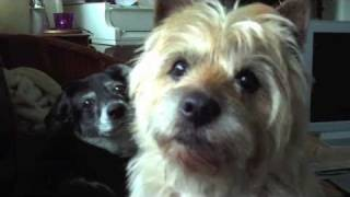 Old Cairn Terrier Playing With His Wife