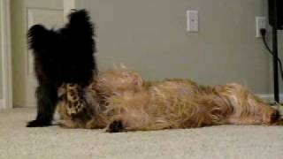 Cairn Terriers Playing With A Bone