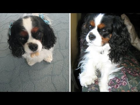 The best Therapy dog: Meet Katie | CAVALIER KING CHARLES SPANIEL