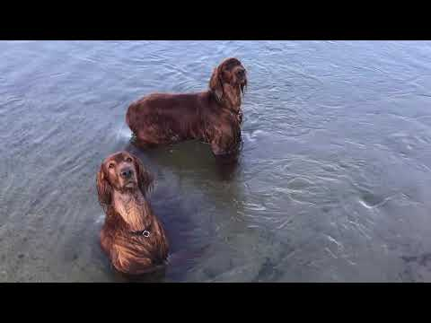 Irish setter hardening in the river