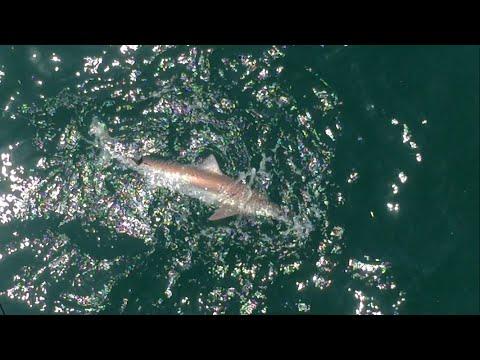 Man catches a Shark on Santa Monica Pier!