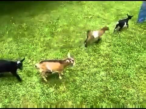 Baby-Goats at Play! - YouTube |Baby Goats Playing Youtube
