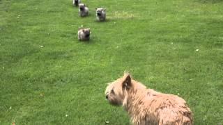 Cairn Terrier Pups,bangor