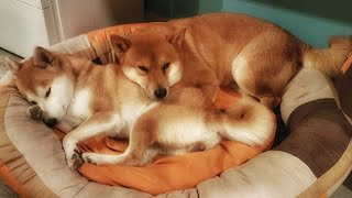 who-will-fall-asleep-first-shiba-inu