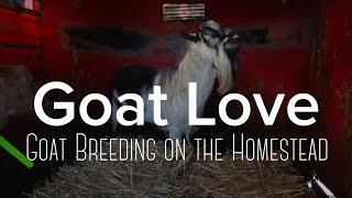 Goat Breeding 101 - The trials, tribulations, and success!