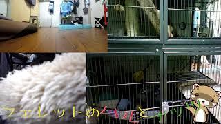 【フェレット】19年6月19日フェレットのハルとナッツ観察日記 thumbnail