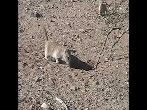 Attack of the Flesh-Eating Ground Squirrels