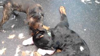 Staffordshire Bull Terrier Angus And Rottweiler Stella Play Both Are 4 1/2 Months Old. Part 2