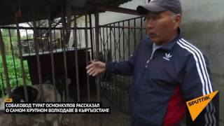Волкодав который весит 103 кг.